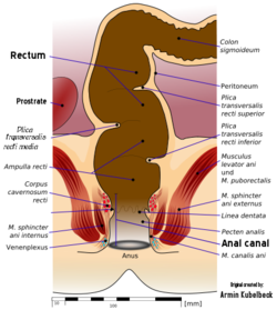 The Human Rectum